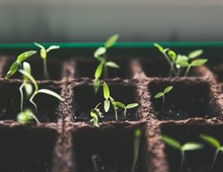 Kleine Cannabis-Pflanzen, die zahlreiche Terpene enthalten sorgen für Deine Gesundheit. #happyhealth