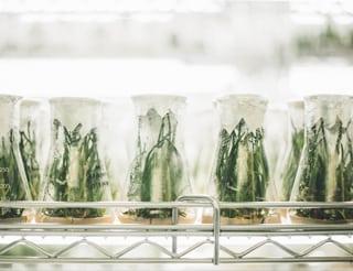 Cannabis in einem Labor. Die Terpene-Untersuchung wird weiter vonargetrieben.