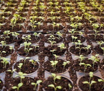 Wer kann aus CBD profitieren? Kleine Cannabis-Pflanzen im schwarzen Ackerboden. CBD Öl oder Cananbisöl wird daraus produziert.
